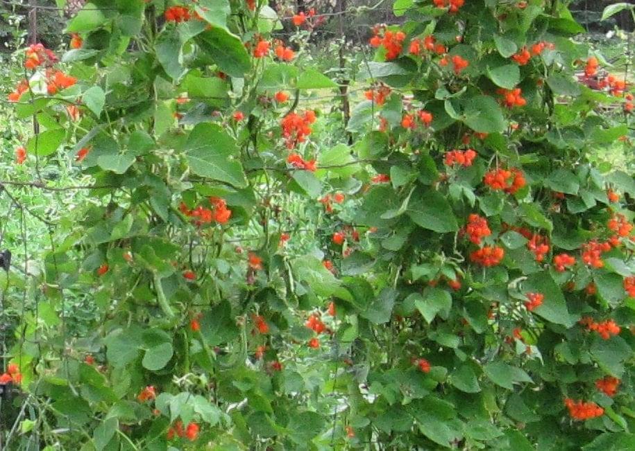 scarlet runner heirloom pole bean certified organic 1 packet