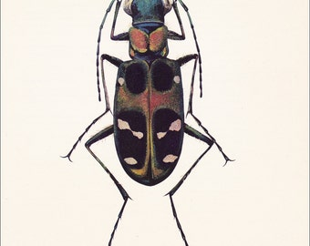 vintage beetle art print the Chinese tiger beetle Cicindela chinensis home decor 8x10 inches