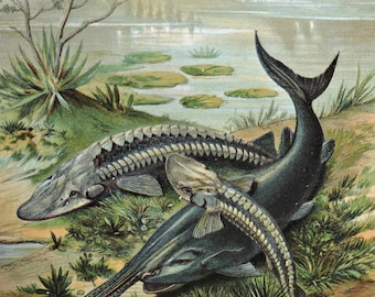 Sturgeon and Paddlefish print. Fish engraving. Antique illustration 135 years old. 1881 lithograph. 8'46 x 12'05 inches.