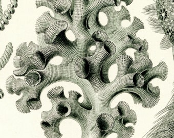 Sea Sponges, Sponges Art, Art Sponges, Sponges Sea, Haeckel Art, Sea Art, Art Sea, Ernst Haeckel, Haeckel Ernst, Haeckel Drawing, Sea Decor