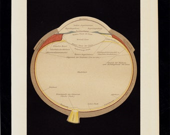 1911 EYE ANATOMY Antique print, cross-section of the eyeball