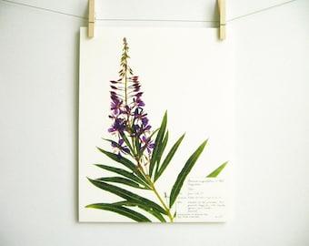Fireweed Print, #134, botanical print purple wildflower purple flower print of original pressed botanical artwork summer flowers art oregon