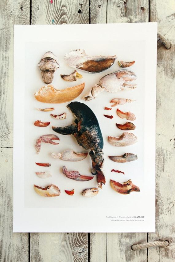 "Naturalist poster  LOBSTER - 13"" x 19"""