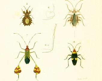 1861 Antique Bug Print, Beetles illustration Hand colored Orbigny Entomology Wall Art,
