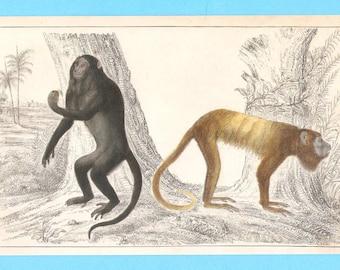 Antique animal (monkeys - howler? ) illustration