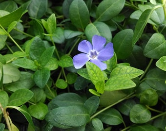 Vinca Minor:  Blue Myrtle or Periwinkle - 32 Count Tray