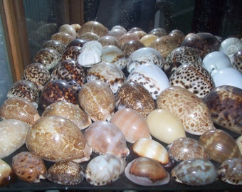 Collection of Large Cowrie Shells from an Old Collection
