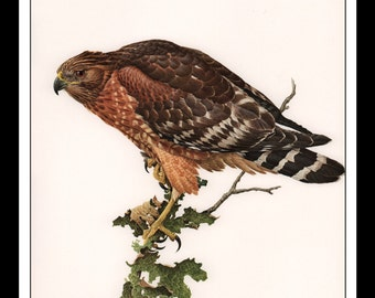 """Vintage Book Print 1968 Birds Of The Eastern Forest : Red Shouldered Hawk Single Page Wall Art Decor Print 9.5"""" x 13"""""""