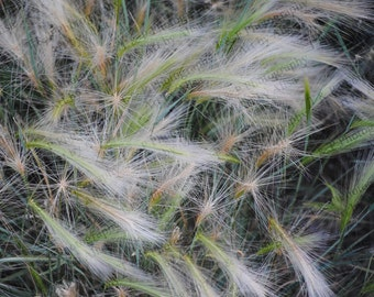 digital download photography, wild grasses, nature photography, instant download, printable art, fine art gift, home decor, turtlesandpeace