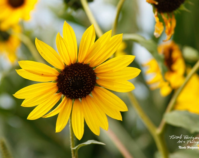 Wild Sunflower Photography Flower Photo Rural Country Scenery Country Decor Mother's Day Gift for Mom her scenery photo by Nicole Heitzman