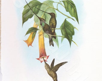 VINTAGE BIRD PRINT, Humming Birds, South American Bird, Bird Illustration, Native South American Bird, Bird Print, Bird Plate, Lithograph