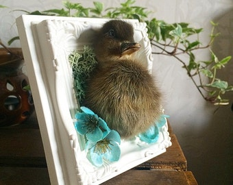 Mounted and Framed Taxidermy Duckling with Moss and Flower Details