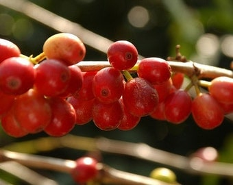 12 oz. Bag of Artisan Roasted Coffee Beans - El Pacayal San Miguel from Guatemala