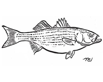 Striped Bass (black and white)