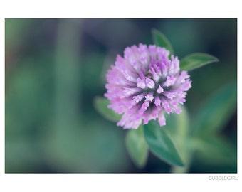 Nature Photography PRINT, Purple Clover, Wall Art