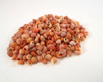 "1 oz (500+) Tiny Mongo Snail Micrao Shells Seashells (1/8"" - 1/4"") for Beach Crafts and Nautical / Coastal Decor"