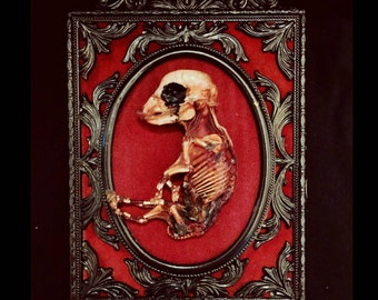 Framed Fetal piglet