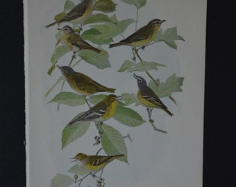 1936 Birds of America Vintage Bird Print Original Book Page - Vireos Warblers and Thrushes