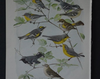1936 Birds of America Vintage Bird Print Original Book Page - Warblers