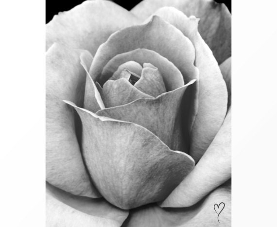 """Black and White Photography, Fine Art Print of a Rose, Modern Home Decor, Flower Wall Art, Rose Art, Floral Photography """"For A Moment"""""""