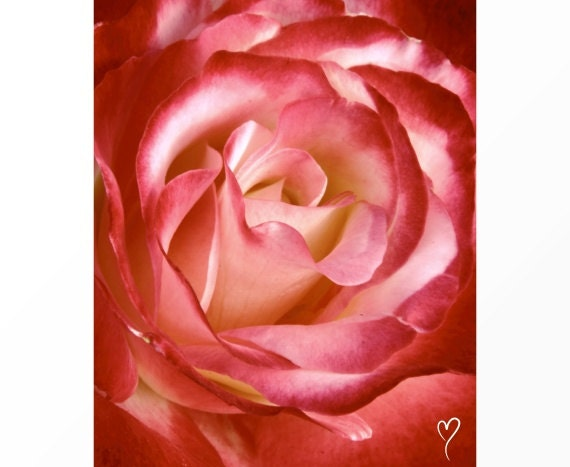 """Lipstick Red Picture of a Rose, RED ART PRINT, Red Home Decor, Red Flowers, Red and Cream Rose, Fine Art Photograph, Red Art """"Lipstick Rose"""""""