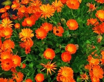 75+ Calendula Seeds --- Pot Marigold Open Pollinated Non-GMO Organic