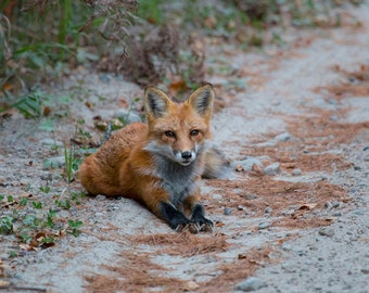 Red Fox, Fox Photo, Red Fox Photo, Nature, Wildlife, Algonquin Park
