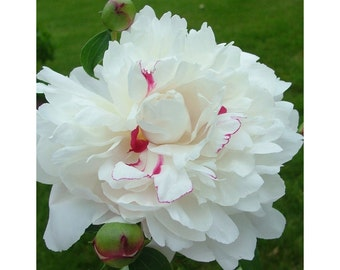Festiva Maxima Peony, White Peony, 3-5 Eyes, Fragrant, 1 Gallon, Perennial, Landscape, Border, Attracts Butterflies, Hardy, Beautiful Color