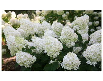 Silver Dollar Hydrangea, White Blooms, Compact Size, Live Plants, Shrub,  Novelty Plant, Deep Green Foliage, 1 - 1 quart potted plant