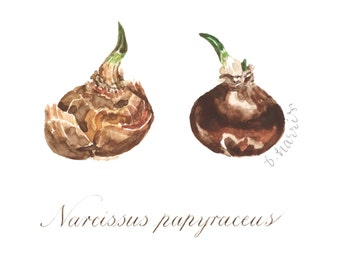 original watercolor - two narcissus bulbs with calligraphy latin description
