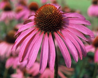 35 seeds echinacea, echinacea purpurea, purple coneflower, rudbeckia, immuno-stimulating traditional Indian plant