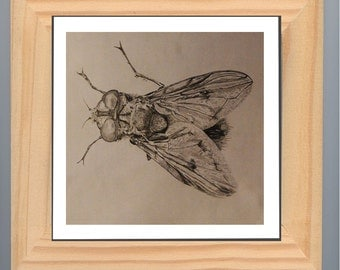 Fly - Musca - fly pencil art, insect original drawing