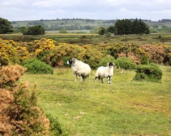 Moor Sheep in Spring Photograph