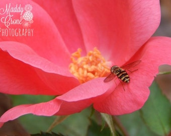Flower Photograph, Bee Photograph, Spring Flower Photograph, Rose Photograph, 4 x 6