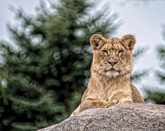 African Lion Cub, posing