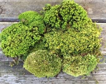 Moss, Assortment Pack, Terrariums, Crafts, Miniatures, Fairy Gardens, Wedding Decor, Moss Mat, Shade Garden, Vivariums, Wreaths, Bonsai