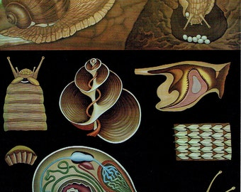 Old school zoology 1990 Jung-Koch-Quentell snail Anatomy poster; 21 x 29cm apprx / 8.26 x 11,41 inches + or -.
