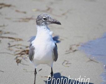 Nature Photography - Seagull photo