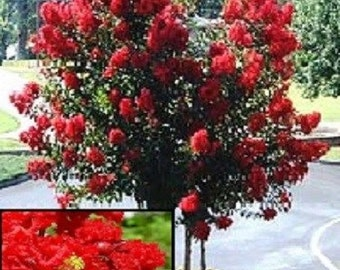 35+ Red Crape Myrtle Tree / Drought Tolerant Shrub / Perennial Flower Seeds