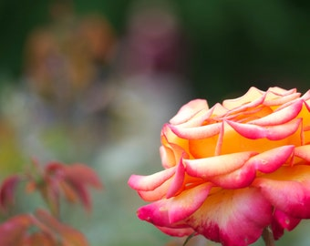 Fine Art Photography - Yellow/Pink Rose - Flower, Floral Print, Nature photography, Flower Photo, Wall Decor, Flower Wall Art, Rose Print