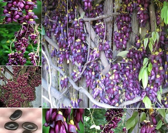 Extremely RARE Amazing Climber Vine * Mucuna Sempervirens * 1 Large Fresh Seed