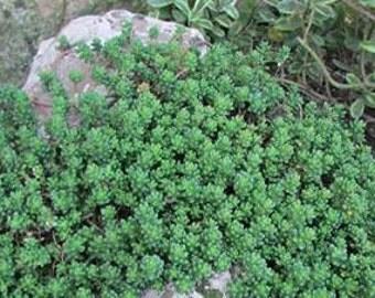 Sedum Reflexum Blue Spruce 50 Seeds