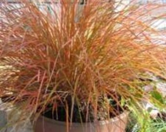 Garden Glowing Pheasant Grass 50 Seeds Ornamental Grass