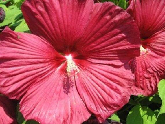 luna red hibiscus seeds huge flowers blooms all summer. Black Bedroom Furniture Sets. Home Design Ideas