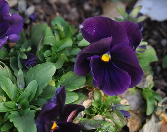 5x7 Photo - Purple Pansies - other sizes available