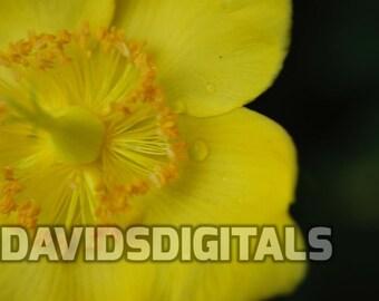 Yellow Flower in the rain digital download