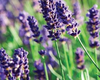 Fragrance Oil Candle Scent - 1oz - Lavender - candle fragrance, scent oil