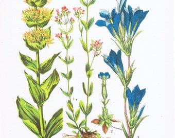 Botanical Print.Floral.RARE.Botanic,Vintage.Antique.Genuine.1929.French.Art.Classic.Mom.Dad.angiosperm.Plant.pretty picture.eco.flower.boho