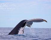 Whale photo, whale photograph, humpback whale photo, ocean art, nursery decor, whale art, whale decor, whale tail photo, whale tail art