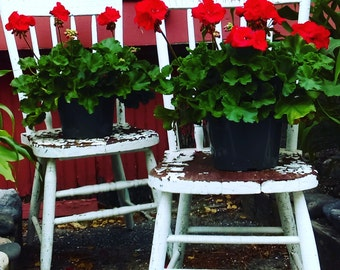 Vintage Red Geraniums - Sitting Pretty - Rustic White Garden Chairs - Flower Garden - Original Color Photograph by Suzanne MacCrone Rogers
